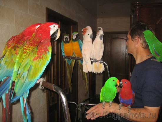 Всё о попугаях неразлучников - bd4d